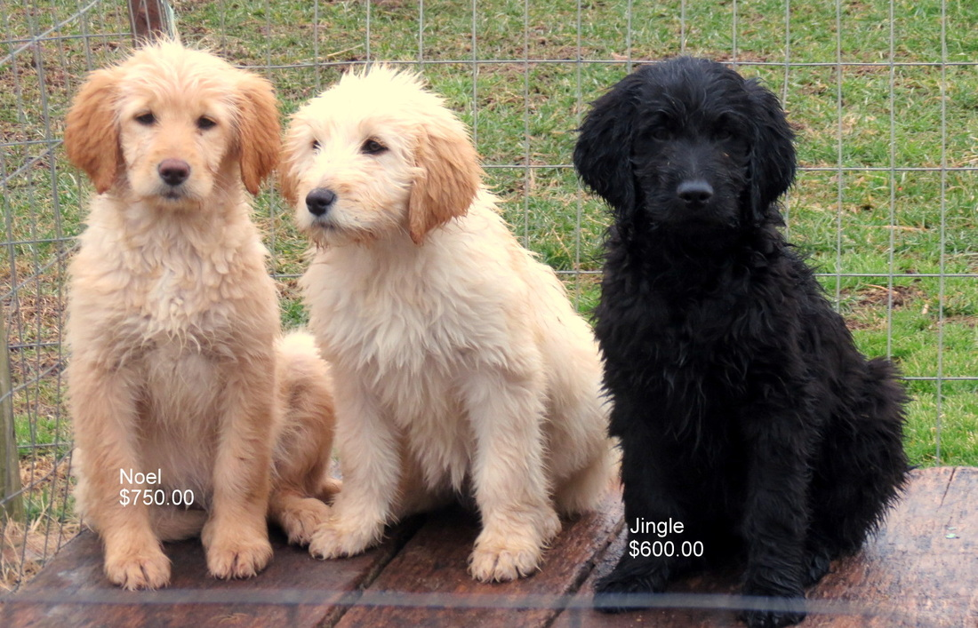 Standard goldendoodle quotes